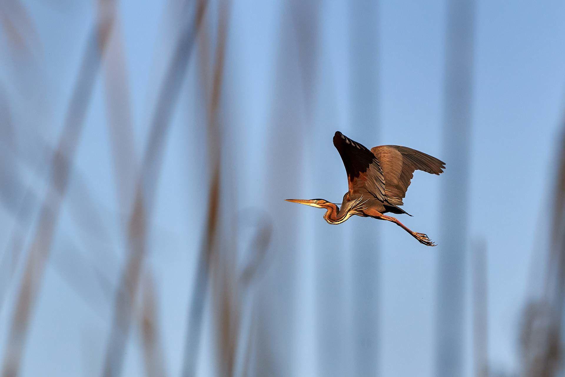 Vogelspotten, Purperreiger, Ardea purpurea | Kooistra Visserij: afvissen, onderzoek en beheer